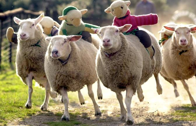 Sheep Racing: The Wierdest Sport Ever