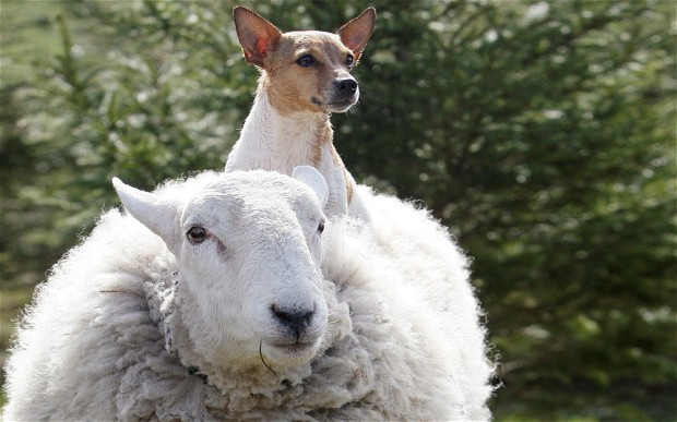 Meet Lamo, the sheep that thinks he's a dog