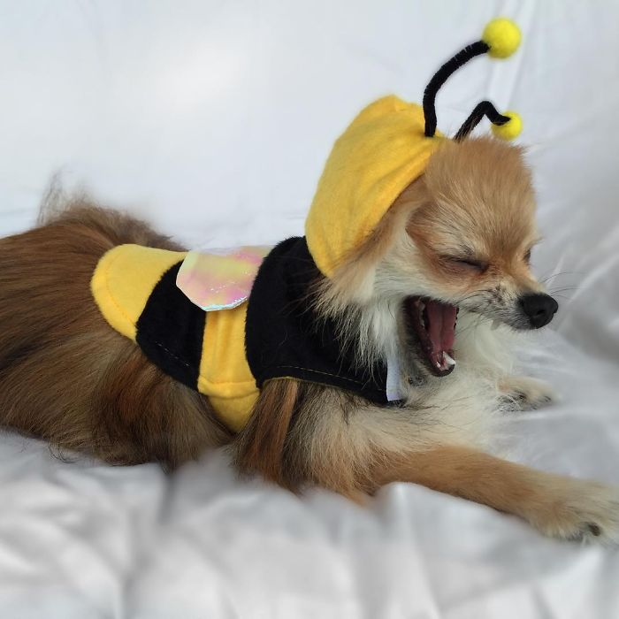 My Dog Loves To Play Dress-Up Even If It's Not Halloween Yet