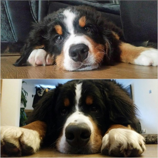 And this sweet guy who finally grew into those paws.