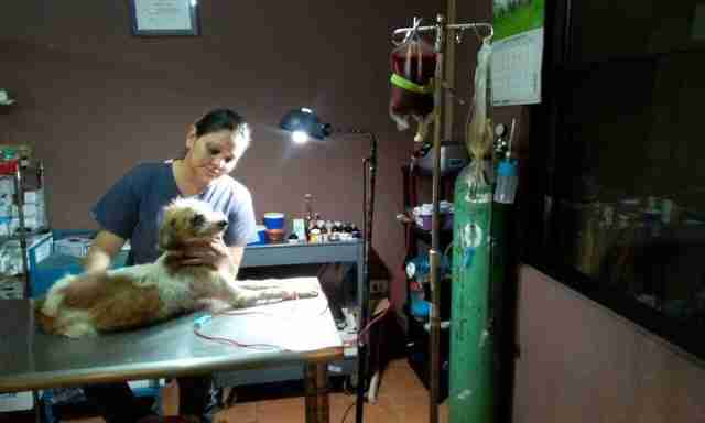 Dog receives blood donation in Costa Rica
