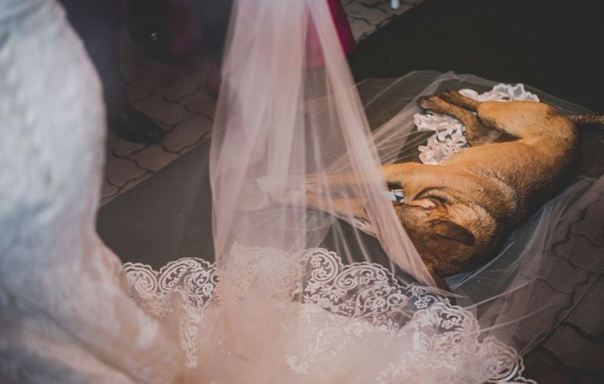 Street Dog Invades Marriage, Lies In Bride's Veil And Wins Family