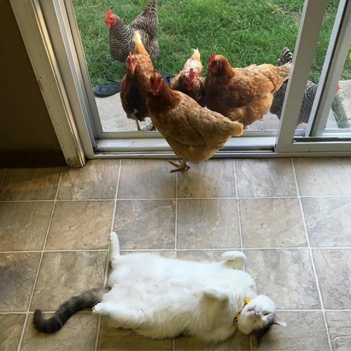 Exhibitionist Cat Attracts Chicks Like A Magnet