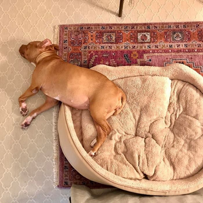chained-rescue-pit-bull-enjoys-comfortable-beds-lola7