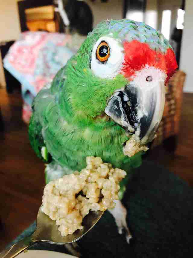Senior rescue parrot in Kansas eating from a spoon