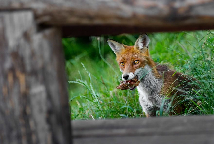 Man Feeds A Fox Every Day For A Year