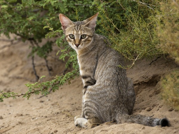 The genes that turned wildcats into kitty cats