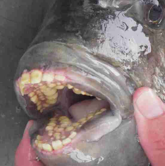 sheepshead fish human teeth photos