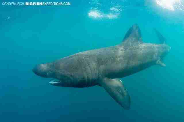 Basking shark with his mouth closed