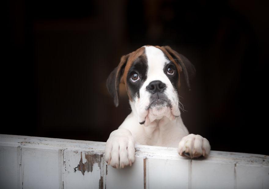 10 Cute Boxer Pup Watching The Rain Shots