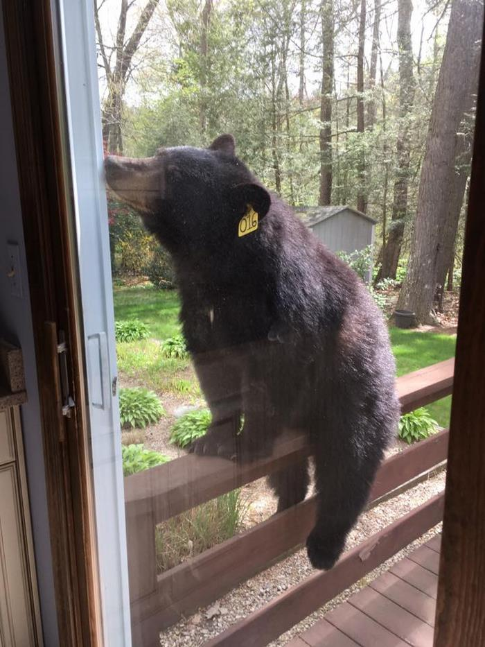 bear-smells-brownies-wants-get-inside-house-3