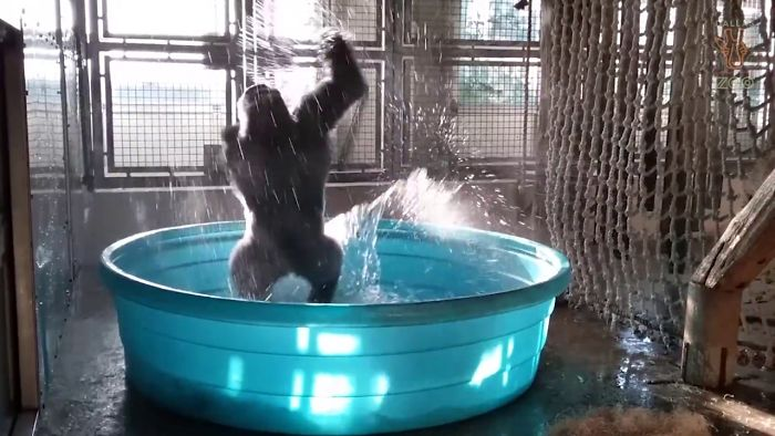 This Gorilla Dancing To Flash Dance Has Broken The Internet