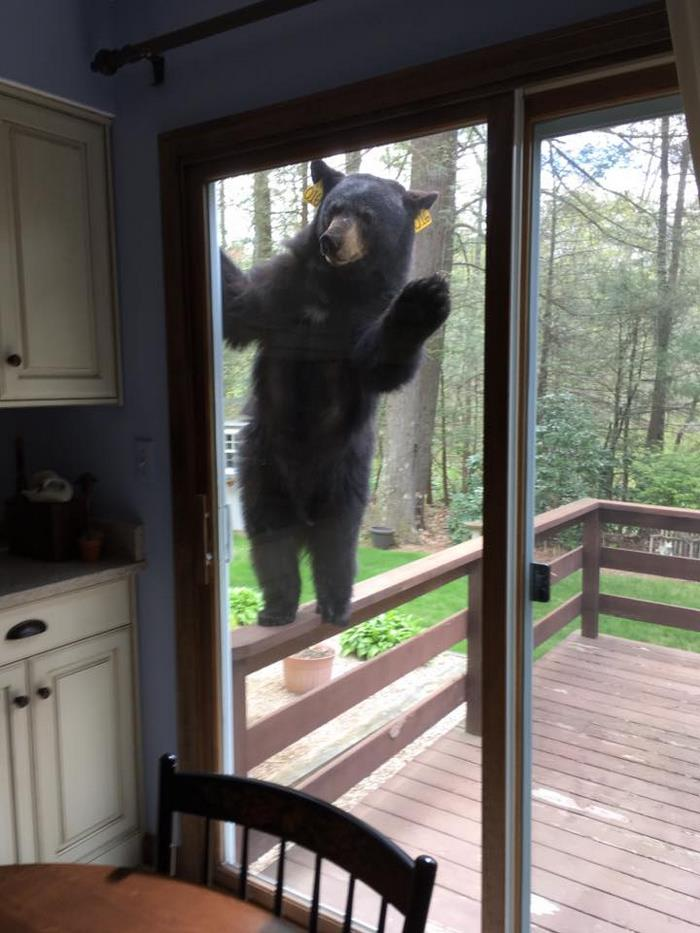 bear-smells-brownies-wants-get-inside-house-2