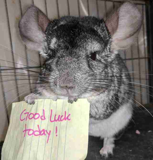 Motivational Chinchillas Cheer Up Their Mom In The Best Possible Way