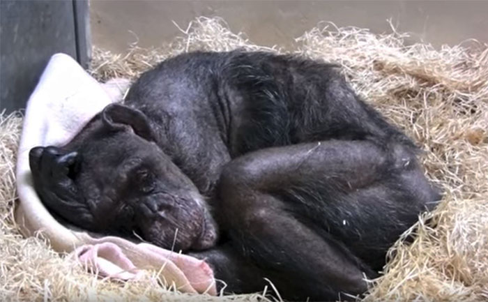 This Dying 59-Year-Old Chimp's Reaction To Her Old Caretaker's Voice Will Melt Your Heart