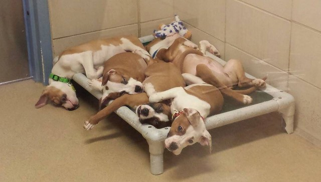 Pit Bull Mix Puppies All Adopted After Cuddle-Puddle Pic Goes Viral