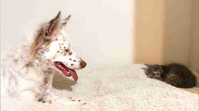 Rescue Dog Has Helped Raise So Many Foster Kittens