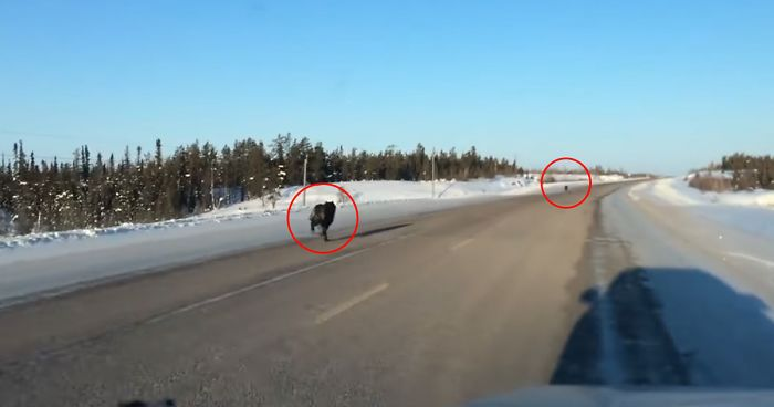 Woman Films Two Massive Wolves Running Next To Her Car At 30 Miles/Hour On Her Way To Work