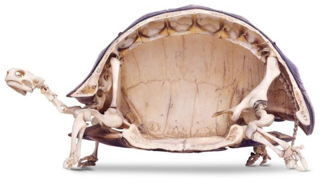 13 Incredible Facts Turtles Are Hiding Inside Their Shells
