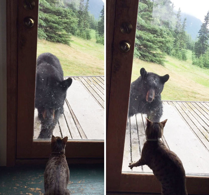 Cat Scares Off Huge Black Bear To Protect Her Family