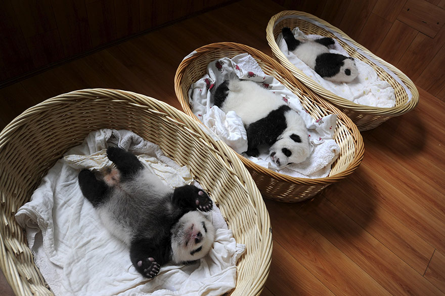 Panda Babies Sleeping In Baskets Make Their First Public Appearance At Chinese Panda Breeding Center