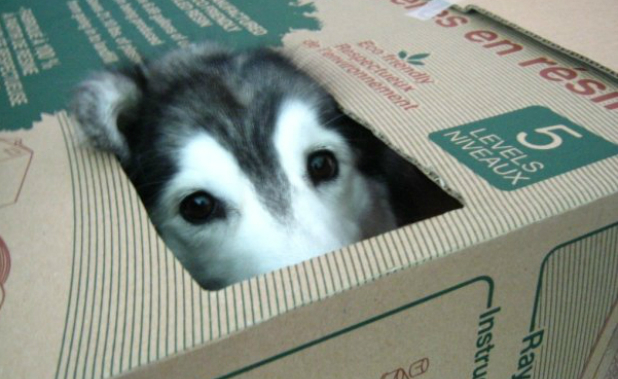 Husky Raised By Cats Doesn't Know How To Be A Dog