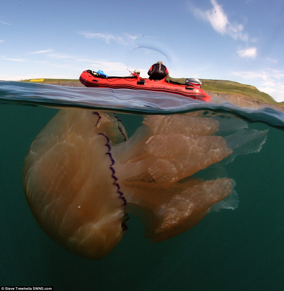 Plague of the giant jellyfish: Tens of thousands of 5ft stingers mass off south-west coast of Britain