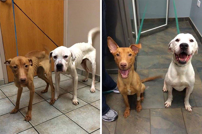 Two Starving Dogs Transformed From Skeletons Back To Dogs Again