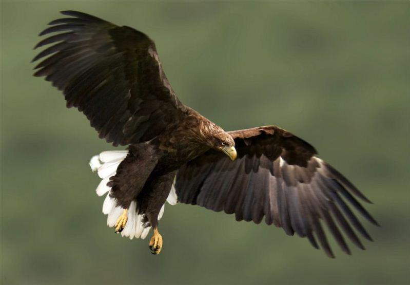 Орлан-белохвост. Фото