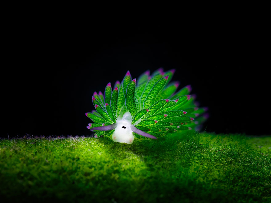Sea Sheep? This Adorable Sea Slug Eats So Much Algae It Can Photosynthesize
