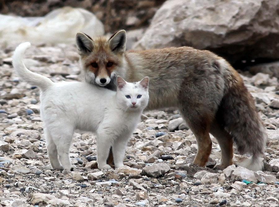 Amazing friendship of cat and fox