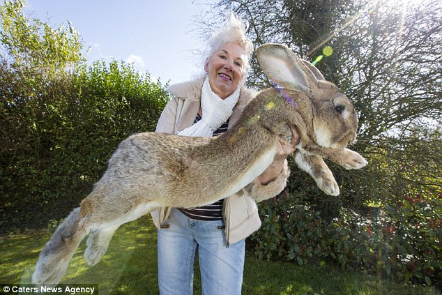 Behold The Bigest Rabbit In The World! And His Son Who Promises To Grow Even Bigger...
