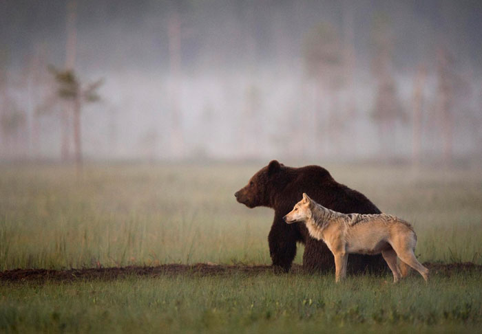 Unusual Friendship Between Wolf And Bear