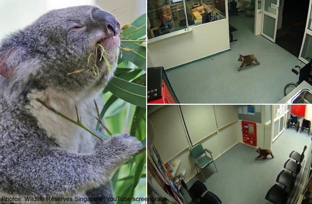 Koala Strolls Into Emergency Room Of Australian Hospital