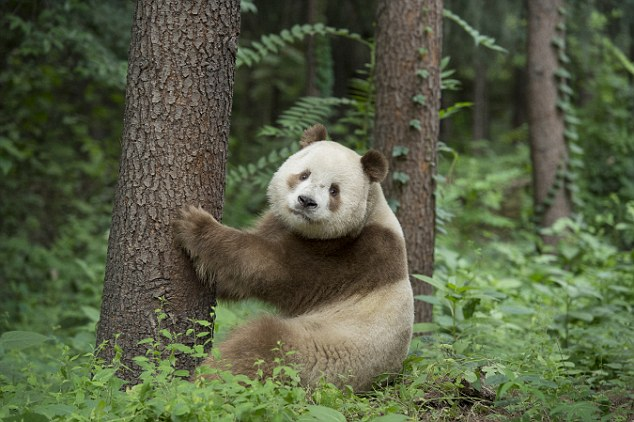 Unique Panda Has Been Found In China