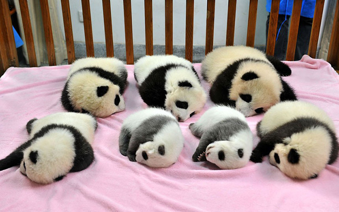 """Panda """"Daycare"""" Exists And Is Most Adorable Place On Earth"""