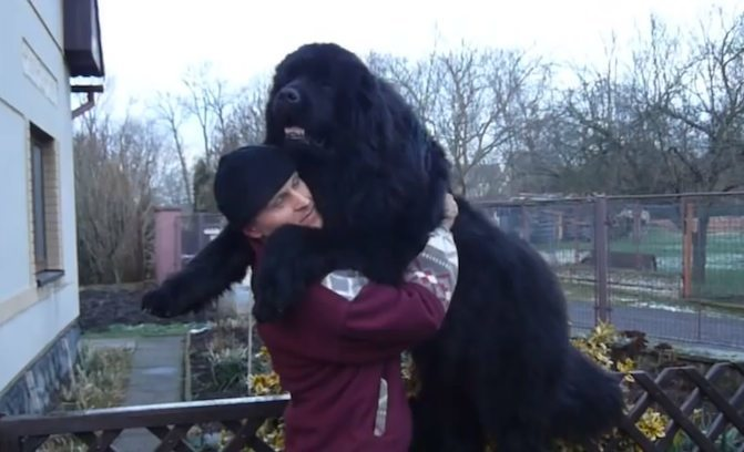 This Enormous Newfoundland Gives The Best Hugs Ever
