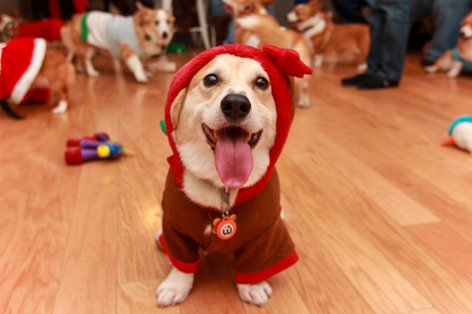 A Horde Of Corgis Took Over An Office For The Best Reason Ever. THE BEST.