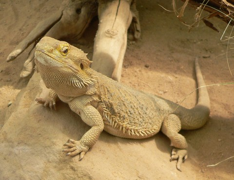 Bearded Dragon: Stats & Facts