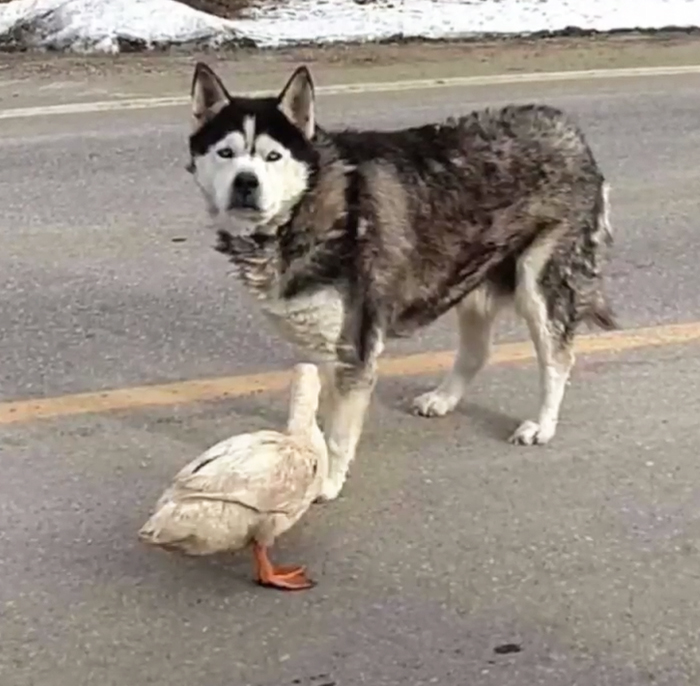 Unlikely Friendship Between Dog And Duck Surprises Small Town In Minnesota